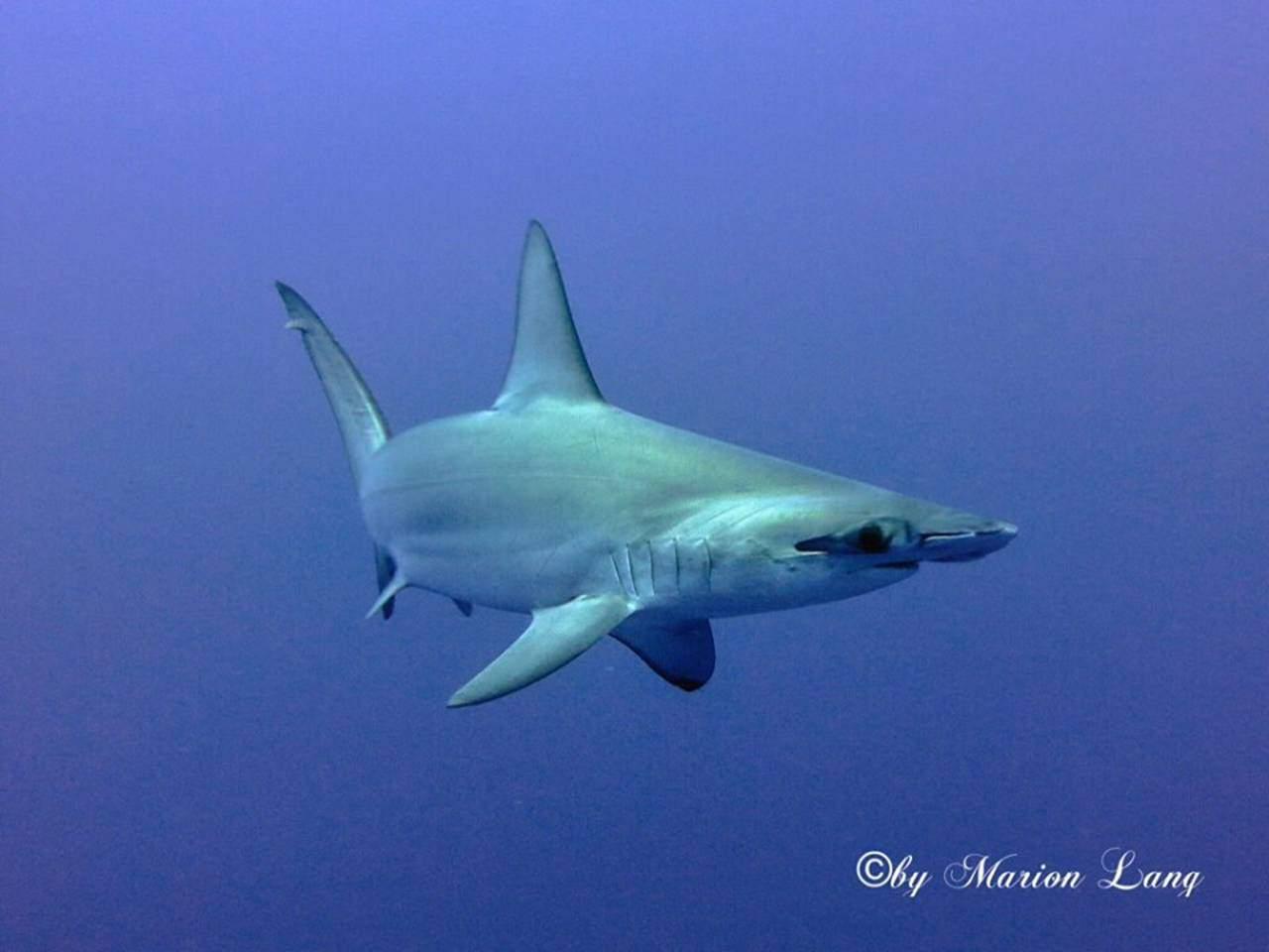 scuba diving hurghada hammerhead