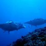 All about Mantas at Euro-Divers Vilamendhoo Island Resort