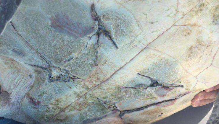 Green turtle rescue in Oman