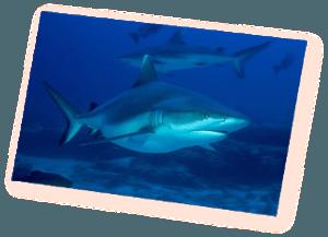 shark encounters grey reef shark euro divers