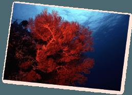 soft coral scuba diving