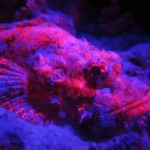 fluo diving scorpoin fish