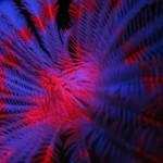 fluo diving feather star