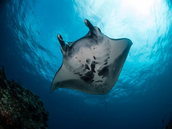 scuba diving with mantas euro divers japan