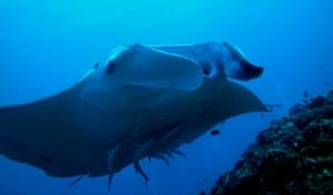scuba diving manta maldives