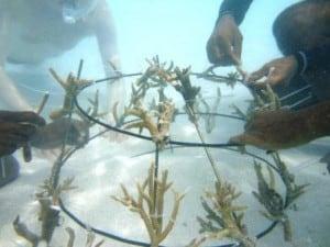Korallenwachstum - neue Korallen anpflanzen