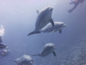 diving with dolphins hurghada euro divers