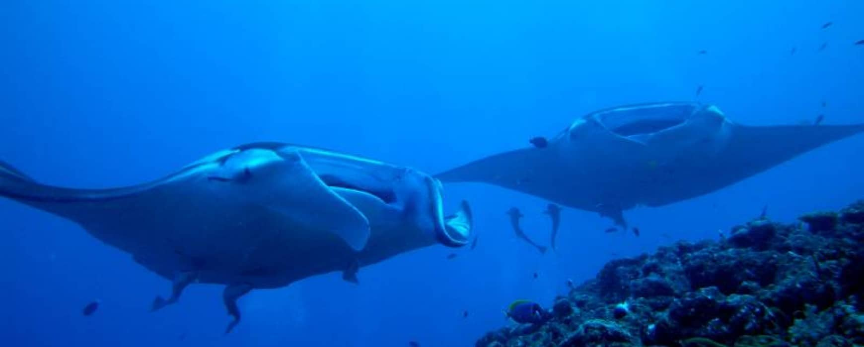 All about Mantas at Euro-Divers Vilamendhoo Island Resort