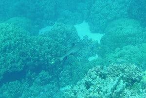 white tip shark hurghada euro divers