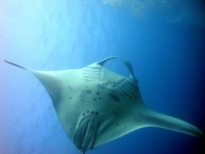 mantas euro divers vilamendhoo maldives news