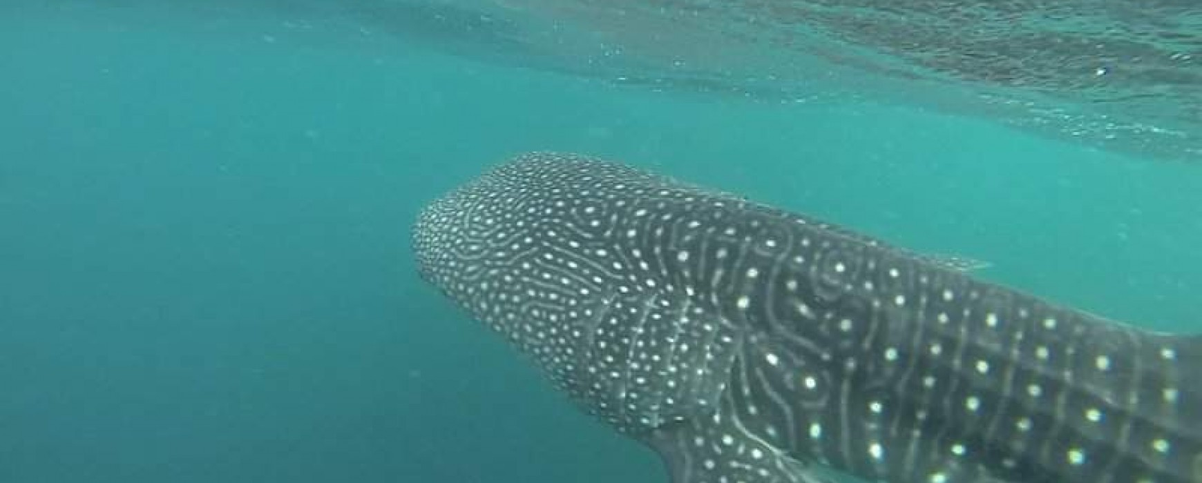 Whale shark at Velidhu Maldives