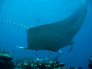 Mantas are back at Velidhu Maldives