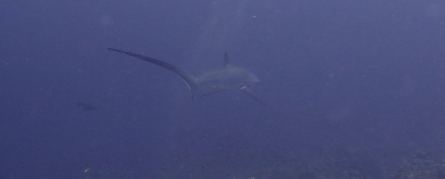Thresher shark at our new dive site at Utopia Beach Club