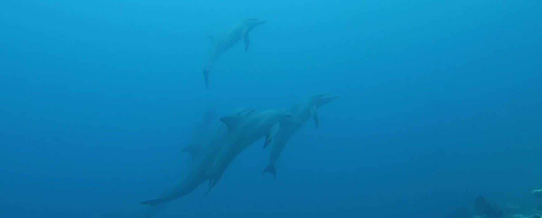 Delphine auf Hafza Thila