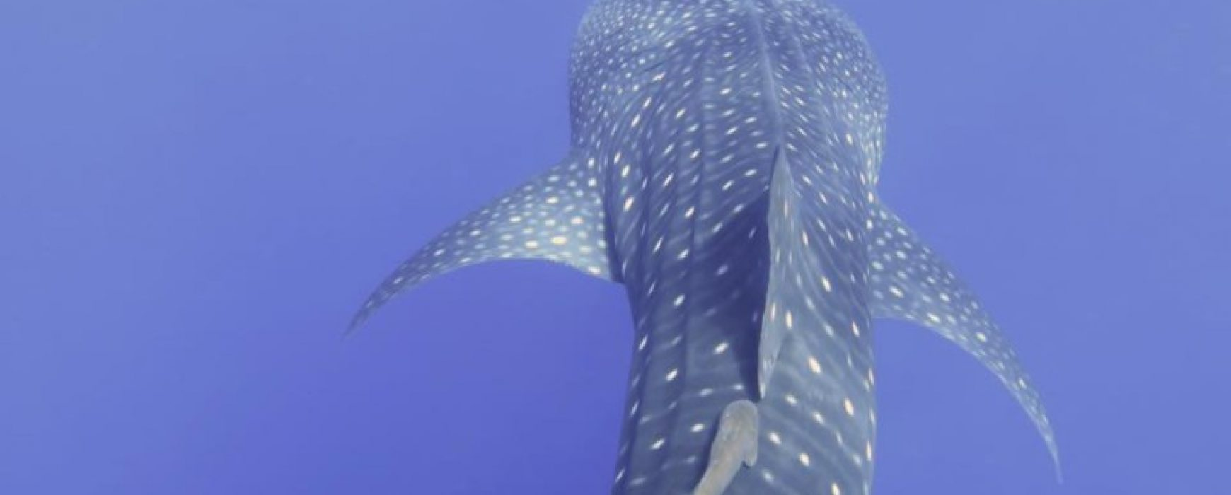 Whale sharks in Hurghada