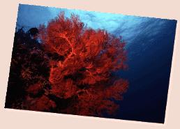 soft coral in maldives