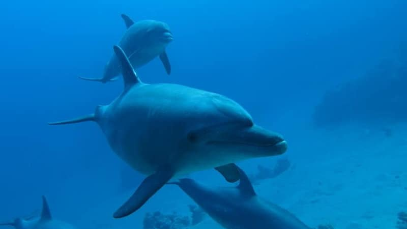 Diving with dolphins September in Egypt