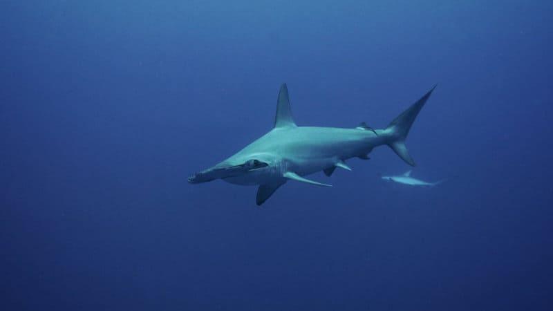 hammerhead shark egypt
