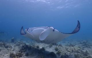 diving with manta in Maldives