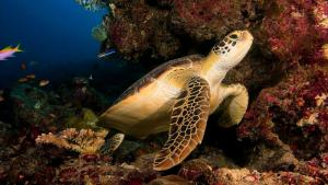 diving with turtle in Maldives