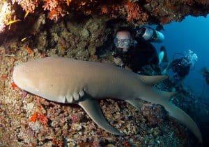 maldivian shark