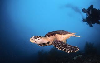 4 dive snorkel swim with sea turtles maldives