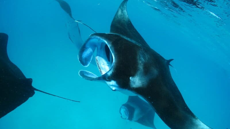 diving snorkeling manta rays maldives