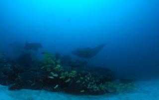 diving snorkeling manta rays maldives