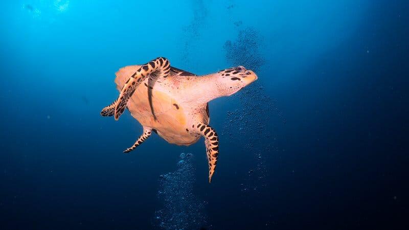 turtle swimming in maldives