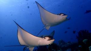 maldives channel diving eagle rays