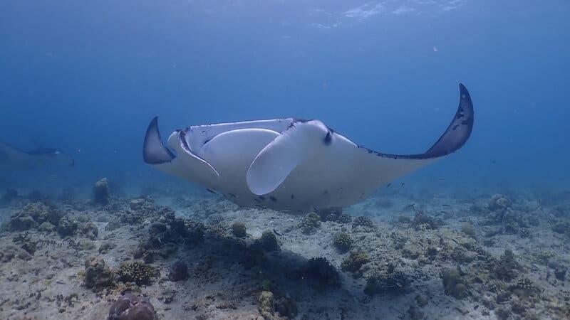 4 diving maldives mantas