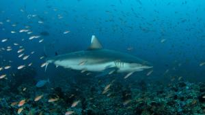 Thila diving with sharks in North Male Atoll