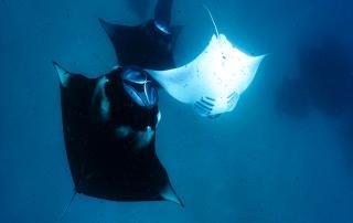 2 manta ray season in maldives