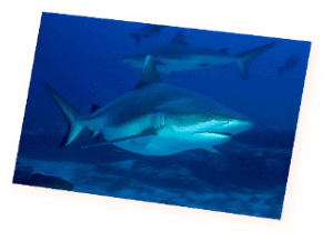 diving with sharks in maldives